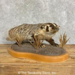 22835 E+ | American Badger Life-size Taxidermy Mount For Sale