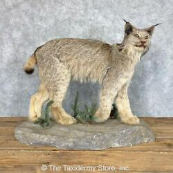 22857 N+ | Canadian Lynx Life-size Taxidermy Mount For Sale