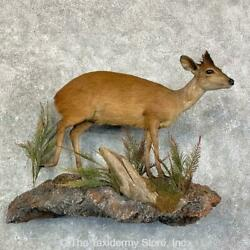 22854 P | Red Duiker Life-size Taxidermy Mount For Sale