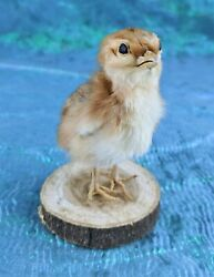 H33b 1 TAXIDERMY Domestic NAT Death BABY Chick Chicken Wood Base Adorable
