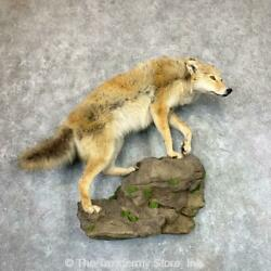 22971 P | Coyote Life-size Taxidermy Mount