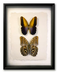 Real Framed Owl Butterflies - Caligo Prometheus Pair / Art Of Insects 11 X 14