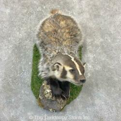 23196 E+ | American Badger Life-size Taxidermy Mount For Sale