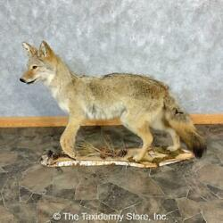 23221 E+ | Coyote Life Size Taxidermy Mount