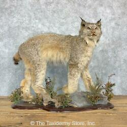 23179 E | Canadian Lynx Life-size Taxidermy Mount For Sale