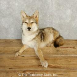 20229 P | Coyote Life-size Taxidermy Mount For Sale