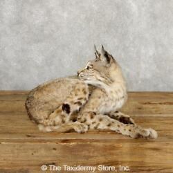 18881 E+| Bobcat Life-size Taxidermy Mount For Sale