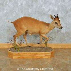 15089 E+ | Natal Red Duiker Life-size Taxidermy Mount For Sale