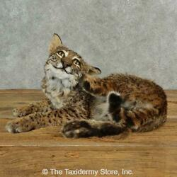 17007 P | Bobcat Life-size Taxidermy Mount For Sale