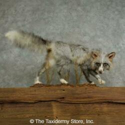 17043 Wc | Pearlitina Fox Life-size Taxidermy Mount For Sale