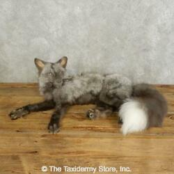 17543 Wc | Pearl Fox Life-size Taxidermy Mount For Sale
