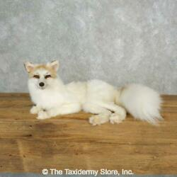17830 Wc   Sun Glow Fox Life-size Taxidermy Mount For Sale
