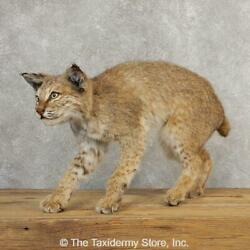 21120 E+  Bobcat Life-size Taxidermy Mount For Sale