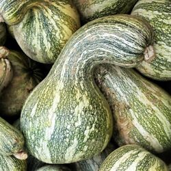 Green Striped Cushaw Seeds Usa Garden Vegetable Southern Winter Squash Seed 2021