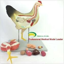 Chicken Poultry Anatomy Model Organs Heart Wing Muscle Veterinary Study Animal