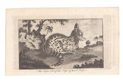 Andnbsp Andnbspantique Engraving Print The Tiger Cat Of The Cape Of Good Hope 1770 Ca.andnbsp