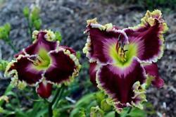 Master And Bold Ruler Daylily Live Plant Sf - Unique Flower - Free Shipping