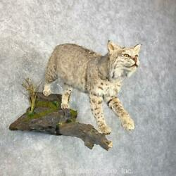 23988| E Bobcat Life-size Taxidermy Mount For Sale
