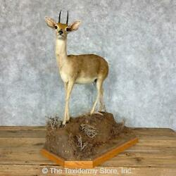 22859 E+ | African Steenbok Life-size Taxidermy Mount For Sale