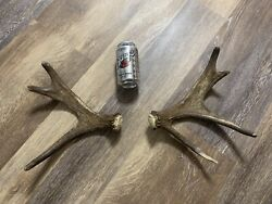 Tiny Moose Antlers Shiras Rack Horns Sheds Taxidermy Mount Carving Set Small Big
