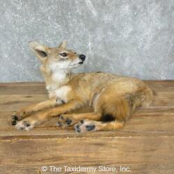 24333 N+   Coyote Pup Life-size Taxidermy Mount For Sale