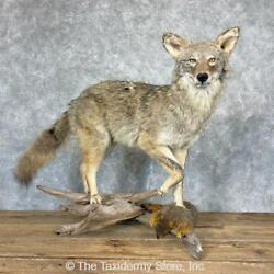 24330 E | Coyote Life-size Taxidermy Mount For Sale