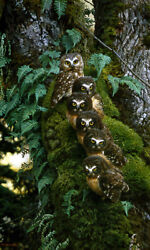 Carl Brenders Family Tree Ltd Giclee On Canvas Spotted Owls Fully Stretched