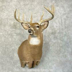 24603 P+ | Whitetail Deer Shoulder Taxidermy Head Mount For Sale