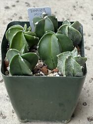 For The Collector Of Oddities...mystery Mix Astrophytum 2, 200206