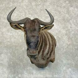 24990 P | African Blue Wildebeest Taxidermy Wall Pedestal Mount For Sale