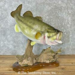 25045 Wc   30 Largemouth Bass Freshwater Taxidermy Fish Mount For Sale