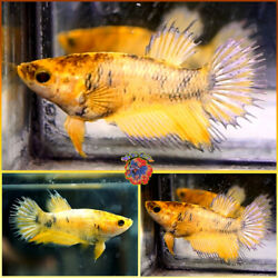Live Betta Fish Female Fancy Copper Marble Super Yellow Crowntail M243