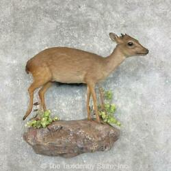 25329 P | Blue Duiker Life-size Taxidermy Mount For Sale