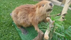 Full Size North American Beaver Taxidermy Mount W/ Artificial Wood And Grass Base