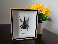 Taxidermy Real Fighting Stag Beetle Display Lepidoptera Entomology Home Decor