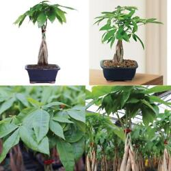 Bonsai Money Tree Grove Plant - 4 Years Indoor Houseplant Or Office Best Gift