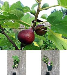 Mission Fig Plants In 4 Inch Fruit Tree Well Rooted And Sturdy 2 Brown Turkey