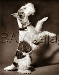 DOG Fox Terrier (Wire) Begging Quality Vintage 1941 Print