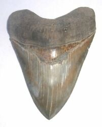 Superb Huge 5.38 Fossil Megalodon Tooth No Repair Or Restoration Aaaa+++