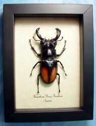 Real Framed Hexarthrius Parryi Paradoxus Giant Fighting Stag Beetle 7712
