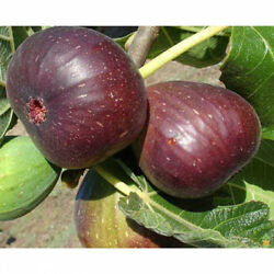 2 Fig Plants Live Tree Brown Turkey Mission Fruit Plant Well Rooted And Sturdy