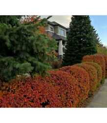 Cotoneaster Lucidus 3000 Seeds