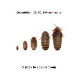Dubia Roaches Small Medium Large XL Live Feeders Ships Same Day Free $19.00