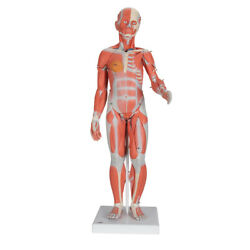 3b Scientific 1/2 Life-size Complete Human Dual Sex Muscle Model, 33 Part B55