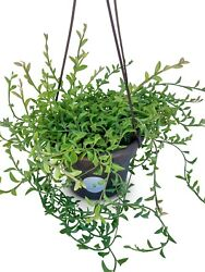 Large String Of Dolphins Succulents In Hanging Pot Senecio Peregrinus Free Ship