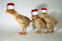 Photograph, Photo, Baby, Chicks, Chickens, Christmas, Farm Animal, Poultry