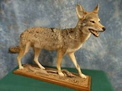 Brand New Coyote Taxidermy Quality Mount Home Hunting Lodge Cabin Decor