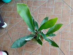 1 Staghorn Fern Plant Forest Exotic Tropical