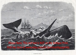 Marine Whaling Sperm Whale Harpooned, Large 1870s Antique Engraving Print