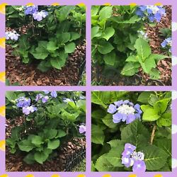 Gorgeous Queen Anneandrsquos Lace Hydrangea Cutting Purple Or Blue Very Rare